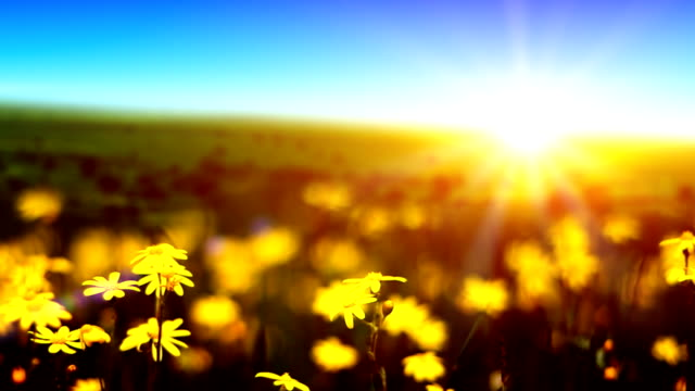 Sunrise over yellow daisies (loopable)