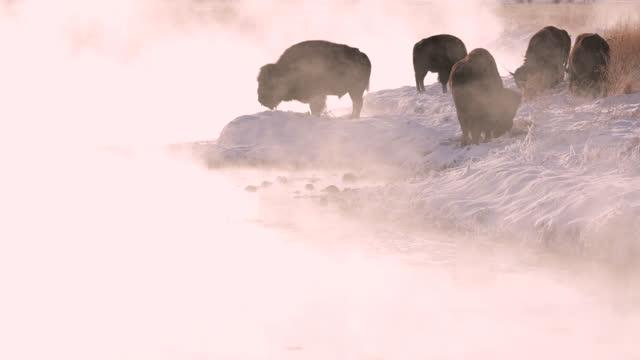 ws  4k  sunrise shot/sound of backlit bison (bison bison) grazing near a warm spring in winter time - herbivorous stock videos & royalty-free footage