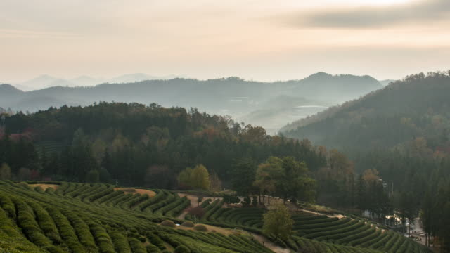 Sunrise view of green tea field and mountains at Boseongchabat