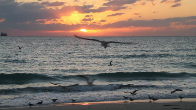 vídeos de stock, filmes e b-roll de ws sunrise with birds flying on beach / miami, florida, united states - gaivota