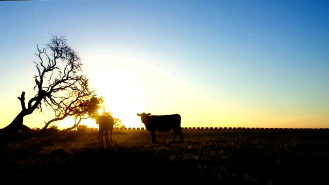 sunset and silhouette cow field - campo stock videos & royalty-free footage