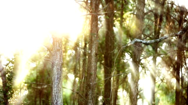 vídeos de stock e filmes b-roll de sunset as seen through the trees. - pinhal