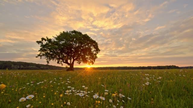 vidéos et rushes de sunset ms derrière paysage rural tranquille et idyllique avec arbres et fleurs sauvages, slovénie - fleur sauvage
