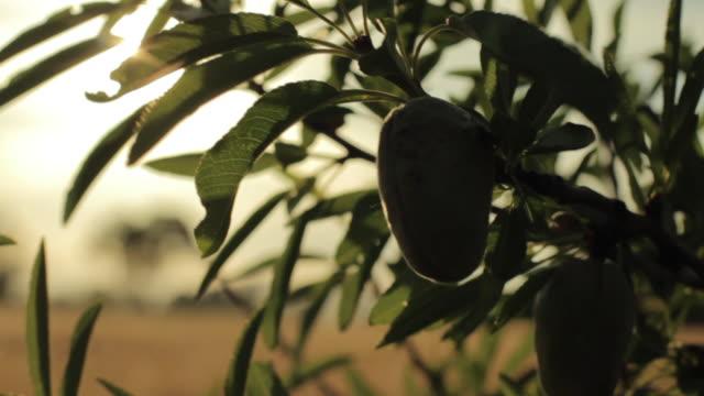 sunset between almonds - mandel stock-videos und b-roll-filmmaterial