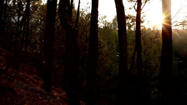 Sunset between pine trees