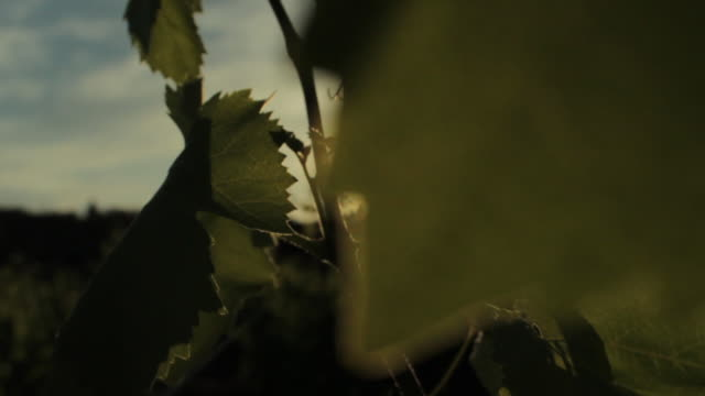sunset between vineyards - grape leaf stock videos and b-roll footage