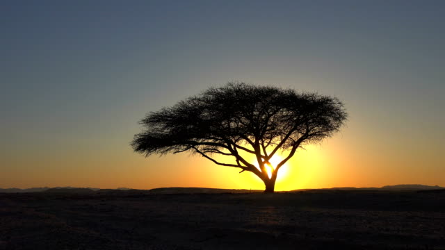 sunset in between acacia tree - acacia tree stock videos & royalty-free footage
