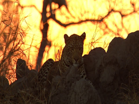sunset in mala mala, south africa. a leopard (panthera pardus) sits amongst the rocks. - großwild stock-videos und b-roll-filmmaterial