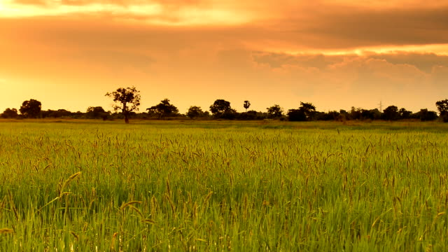 sunset in the field at thailand - paddy field stock videos & royalty-free footage