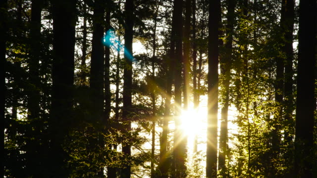 sunset in the forest - coniferous stock videos & royalty-free footage