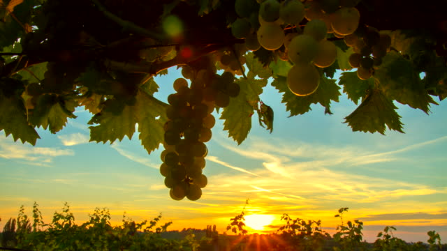 t/l sunset in the vineyard - bunch stock videos and b-roll footage