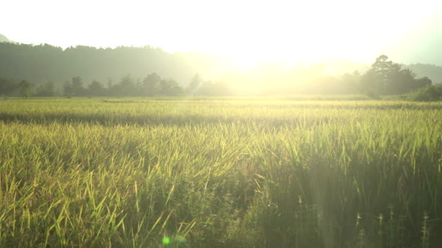 sunset is above yellow rice field