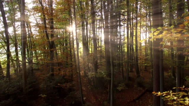 sunset light beams through forest woodland. vibrant nature scenery background - deutschland stock-videos und b-roll-filmmaterial