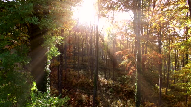 sunset light beams through forest woodland. vibrant nature scenery background