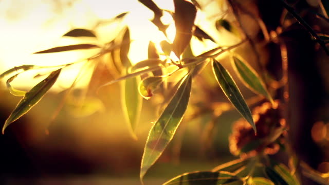 sunset lights shimmering through the leaves - differential focus stock videos and b-roll footage