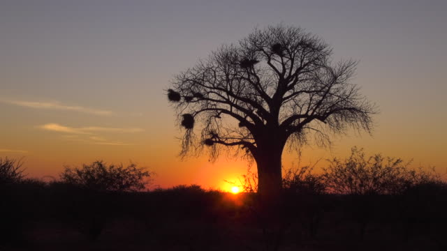 sunset on a baobab tree in africa - bird's nest stock videos & royalty-free footage