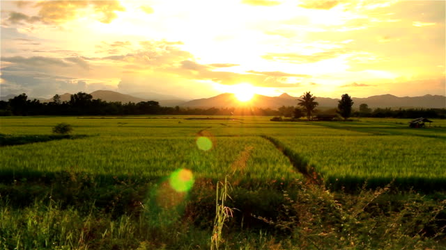 sunset on green paddy field - rice paddy stock videos and b-roll footage
