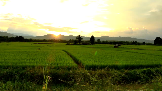 sunset on green paddy field - paddy field stock videos & royalty-free footage