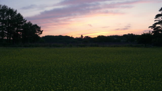 sunset over a field of canola flowers - satoyama scenery stock videos & royalty-free footage