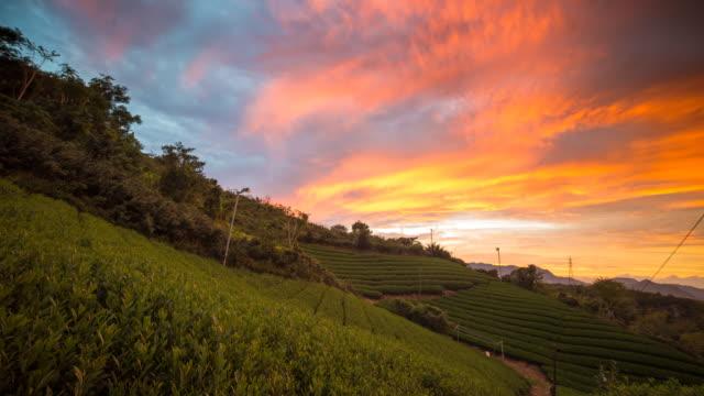 Zonsondergang over een Japanse groene thee veld