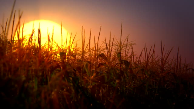 sunset over corn field (loopable) - twilight stock videos & royalty-free footage