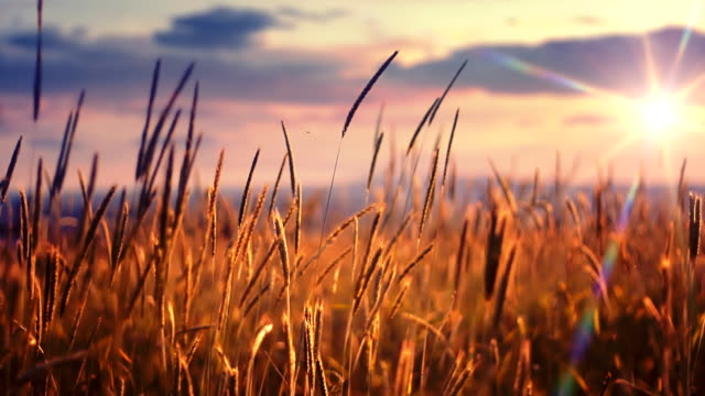sunset over field - cereal plant stock videos & royalty-free footage