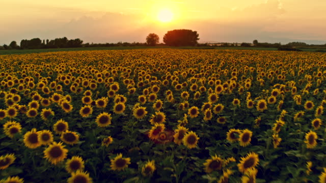 sunset over sunflower field - sunflower stock videos and b-roll footage
