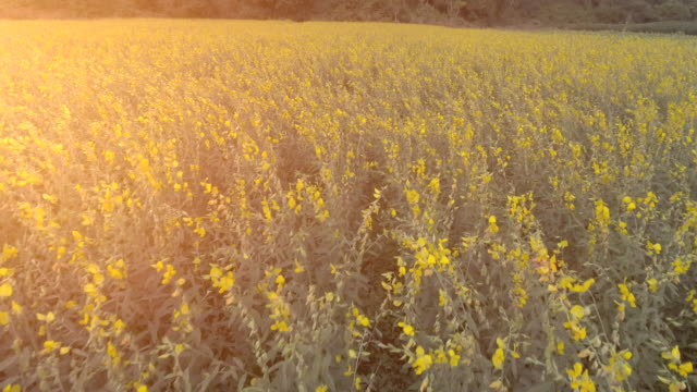 sunset over the flower field - questioni ambientali video stock e b–roll