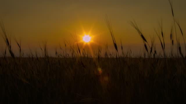 Puesta de sol sobre el campo de trigo lapso de tiempo
