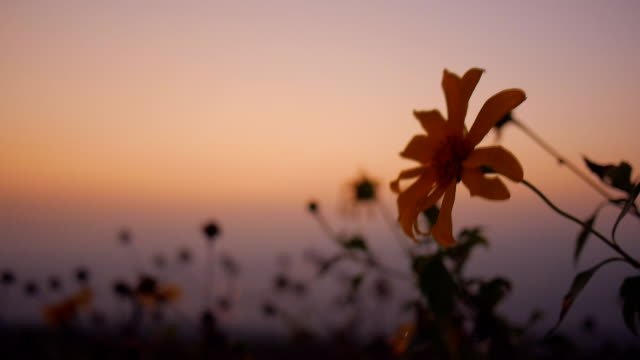 sunset over tithonia diversifolia - swaying stock videos & royalty-free footage