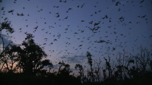 sunset scene and fruit bats flying over the sky of kasanka national park - zambia stock videos & royalty-free footage