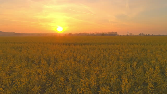 ws sunset shining over idyllic,vibrant yellow rapeseed oil field,slovenia - rapeseed oil stock videos and b-roll footage