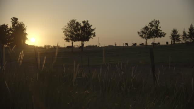 Sunset shot of field with silhouetted cows  on the horizon/ Western Cape/ South Africa