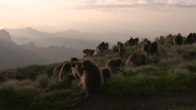 vídeos de stock, filmes e b-roll de sunset shot of gelada baboon herd on cliff in the simien mountains, ethiopian highland - macaco