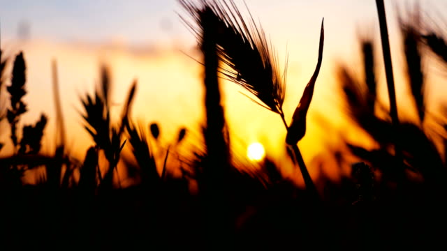 sunset silhouette with wheat - grass family stock videos & royalty-free footage