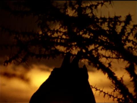 vidéos et rushes de a sunset silhouettes a masai giraffe. - mammifère ongulé