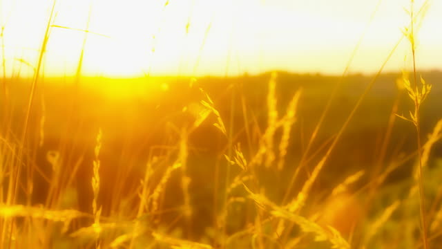 HD DOLLY: Sunset Through Blades Of Grass