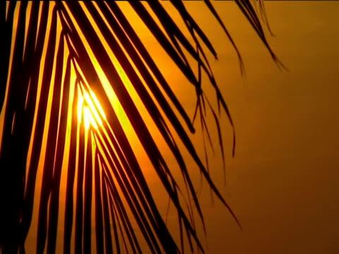 vidéos et rushes de sunset through palm foliage - fronde
