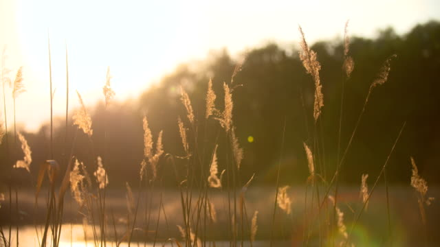 Sunset Through the Reeds. Silver feather grass swaying in wind.