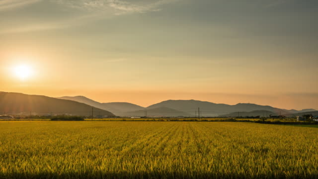 sunset view of gold rice paddy in the gimhae plain - 稲点の映像素材/bロール