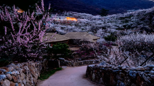 Sunset view of plum blossoms beside a Korean traditional house at Maehwa Village (popular tourist destinations)