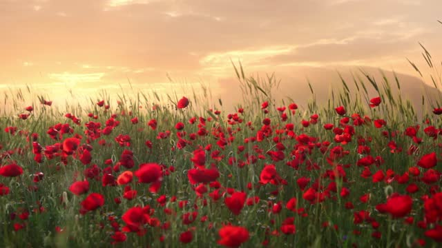 sunset, wind and corn poppies - romantic sky stock videos & royalty-free footage
