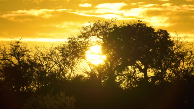 sunset with acacia tree silhouettes in africa - ボツワナ点の映像素材/bロール