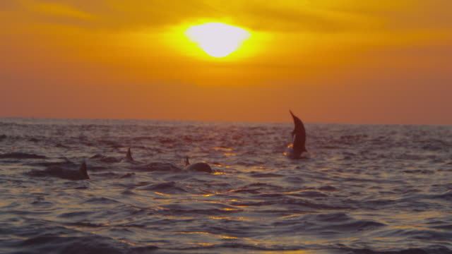 SLOMO WS Sunset with group of Spinner dolphins leaping and spinning in foreground