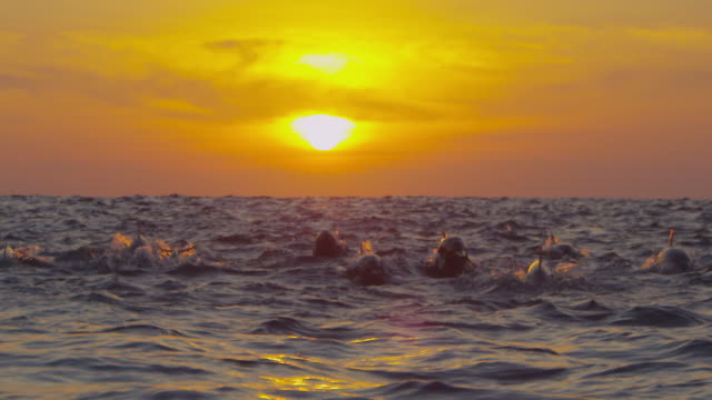 slomo ws sunset with group of spinner dolphins swimming towards camera - spinner dolphin stock videos & royalty-free footage
