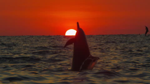 stockvideo's en b-roll-footage met slomo ws sunset with spinner dolphin leaping and spinning close to camera directly in front of sun - dolfijn