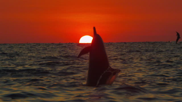 SLOMO WS Sunset with Spinner dolphin leaping and spinning close to camera directly in front of sun