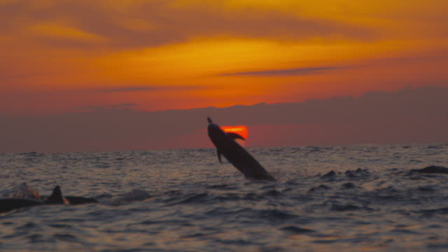 slomo ws sunset with spinner dolphin leaping and spinning in foreground - vier tiere stock-videos und b-roll-filmmaterial