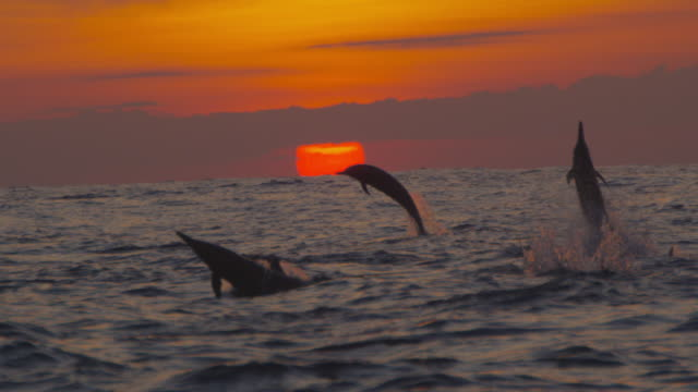 slomo ws sunset with spinner dolphins leaping and spinning in foreground - delfin stock-videos und b-roll-filmmaterial