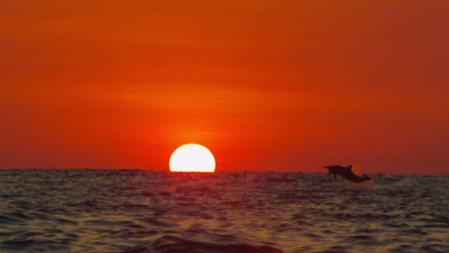 slomo ws sunset with spinner dolphins leaping and spinning in foreground - spinner dolphin stock videos & royalty-free footage
